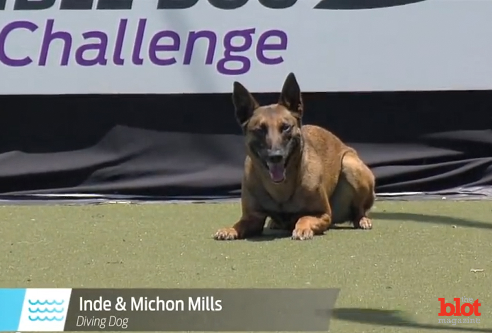 Inde, seen at an event earlier this year, broke a dog-diving world record last month. (Purina Pro Plan Incredible Dog Challenge photo)