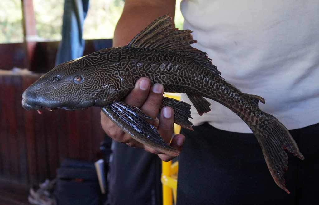 The catfish we used as piranha bait. (photo by Kirsten Koza)