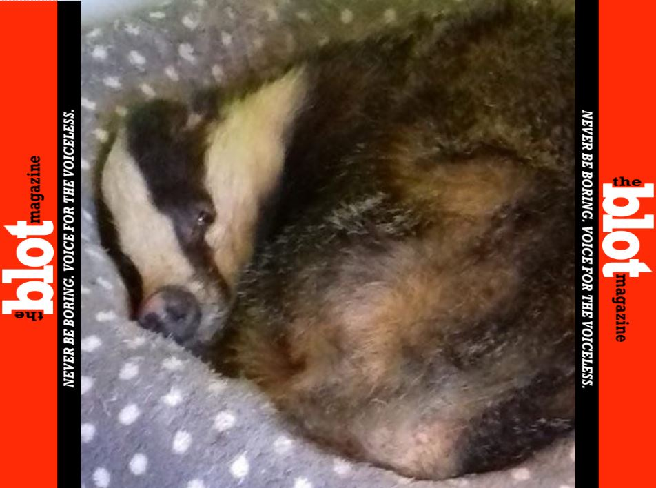 Badger Breaks into Home, Shacks Up in Cat's Bed