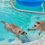 Florida Teacher On Video Drowning Raccoons for Science Class
