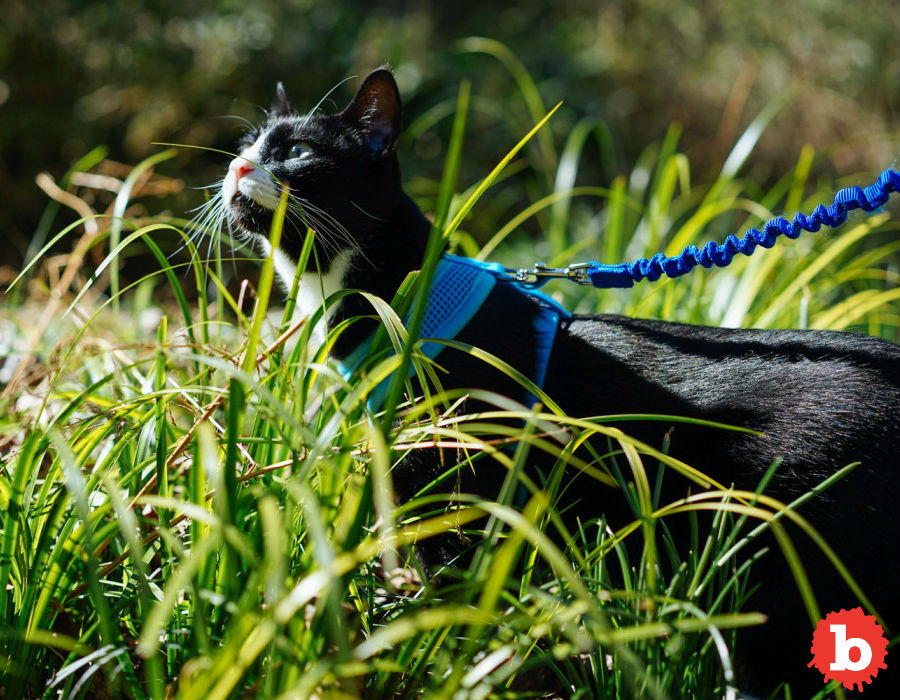 How to Walk your Cat on a Leash Outside