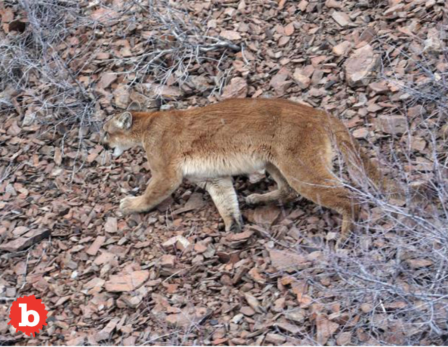 First Ever Fatal Attack, Oregon Hiker Killed by Cougar