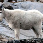 Mountain Goats Airlifted from Parks, Addicted to Human Pee