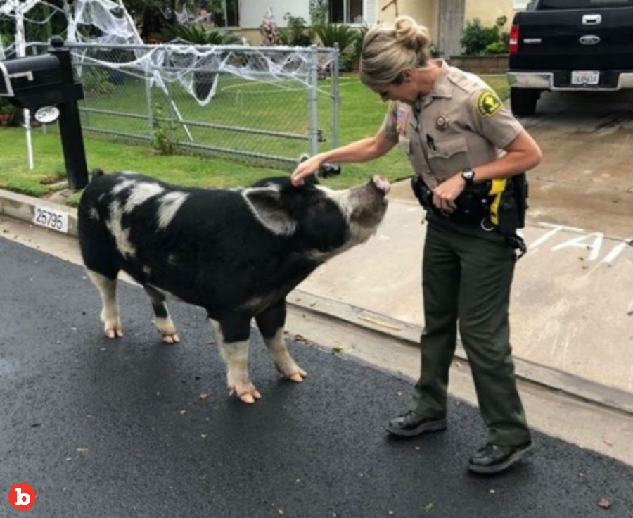 Bad Pig Escaped From Home, Police Lure it Back With Doritos