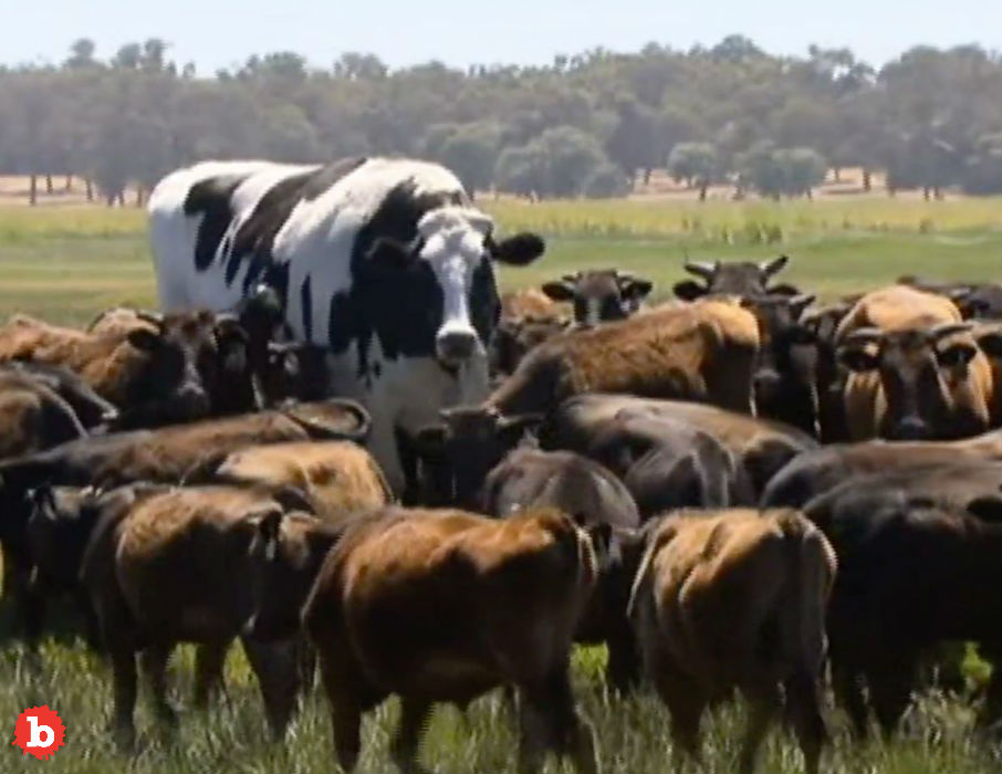 Knickers the Aurochs Cow Way Too Big To Hold Onto