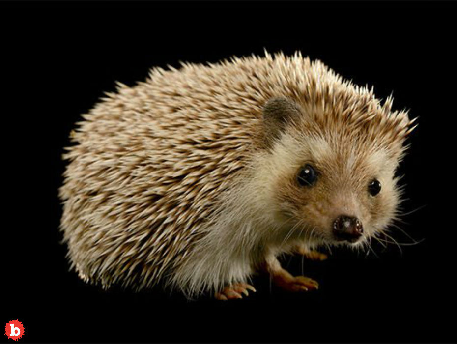 CDC: Don't Snuggle or Kiss Hedgehogs Because Salmonella