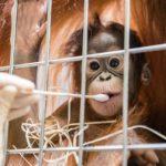 Orangutans Shock Swiss Zoo After Paternity Test