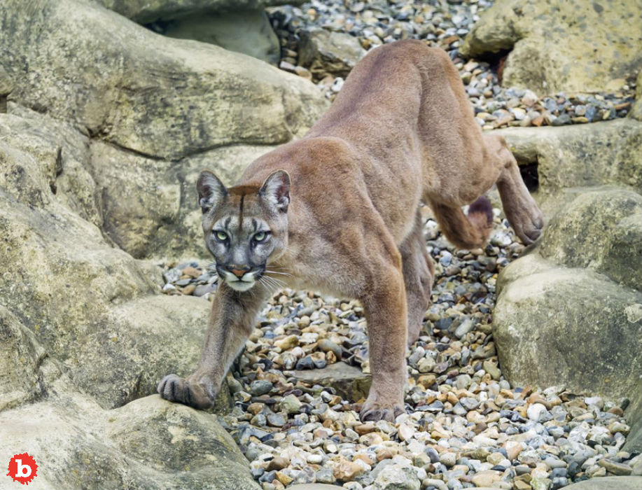 Runner Chokes Attacking Mountain Lion to Death