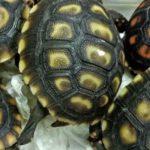 Animal Smuggler Abandons 1529 Turtles at Manila Airport