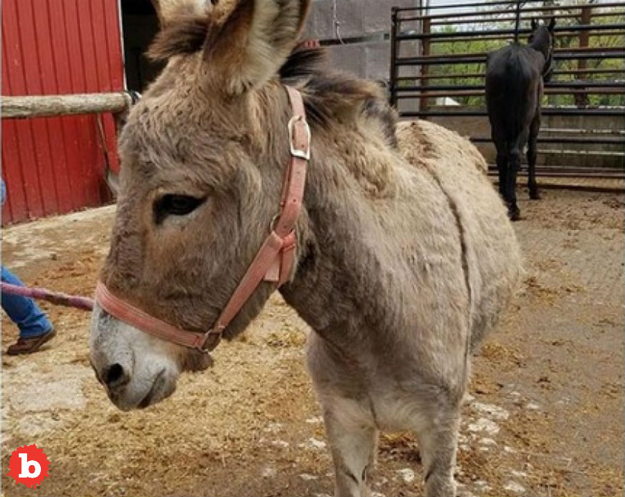 Maryland Authorities and Bystanders Catch Wandering Loose Donkey