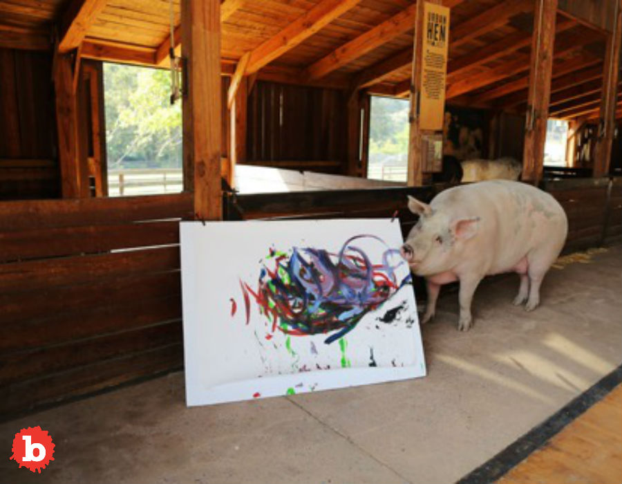 """So I love pigs. But that's a conflict. Because I also love bacon. The more I see cool pigs, the less I feel ok about bacon. So this makes that salty masterpiece even harder to enjoy. A rescue pig has stolen all the attention at an animal sanctuary in Franschhoek, South Africa. That's because this porker loves colors and paintbrushes. And she likes using one to enact the other. So yes, that means this is a pig who paints. A painter pig, or Pigcasso, if you will. But this is truly a rags to riches success story. Pigcasso found herself rescued way back when she was a piglet in a abattoir. Her scanctuary home is in the country's Western Cape region. She's been there since 2016. But her new owners realized this pig loved colors and paint paintbrushes and even painting. We all know that pigs are smart. But being smarter than a dog doesn't mean you can paint. And this pig can paint! Good pig. Joanne Lefson runs the Farm Sanctuary SA and said, """"Pigs are very smart animals and so when I brought Pigcasso here to the barn, I thought how do I keep her entertained? We threw in some soccer balls, rugby balls and of course there were some paintbrushes lying around because the barn was newly build ... She basically ate or destroyed everything except these paintbrushes ... she loved them so much."""" But then before they knew what was happening, this good pig was dipping paint brushes into paint! She then would….paint! So here's the thing: this pig paints. On canvas. People buy her paintings for as much as $4,000. But all the money goes to support animal welfare. But this pig is also fashionable. And no, I'm not putting lipstick on a pig, literally or otherwise. One of her paintings is now a watch face for Swatch. They call the limited-edition watch, """"Flying Pig by Ms. Pigcasso."""" It's got gren, blue and pink painterly strokes. You can buy the watch for $120. But bring home the bacon, first."""