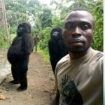 Did Gorillas Pose or Photo Bomb With Ranger For Selfie