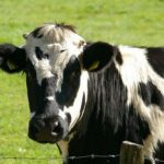 Foolish Cow Hangs Out in Indiana Chick-Fil-A No Scam