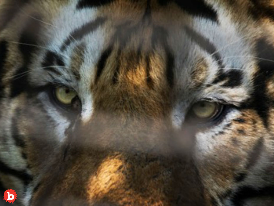 Man Enters Empty House to Smoke Up, Finds Caged Tiger
