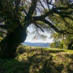 Cali Couple Cut Down Old Oak Tree Fined 600000