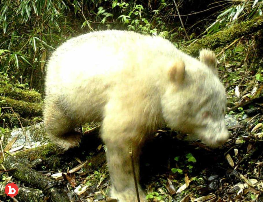 First Ever Albino Panda Bear Caught on Camera in China