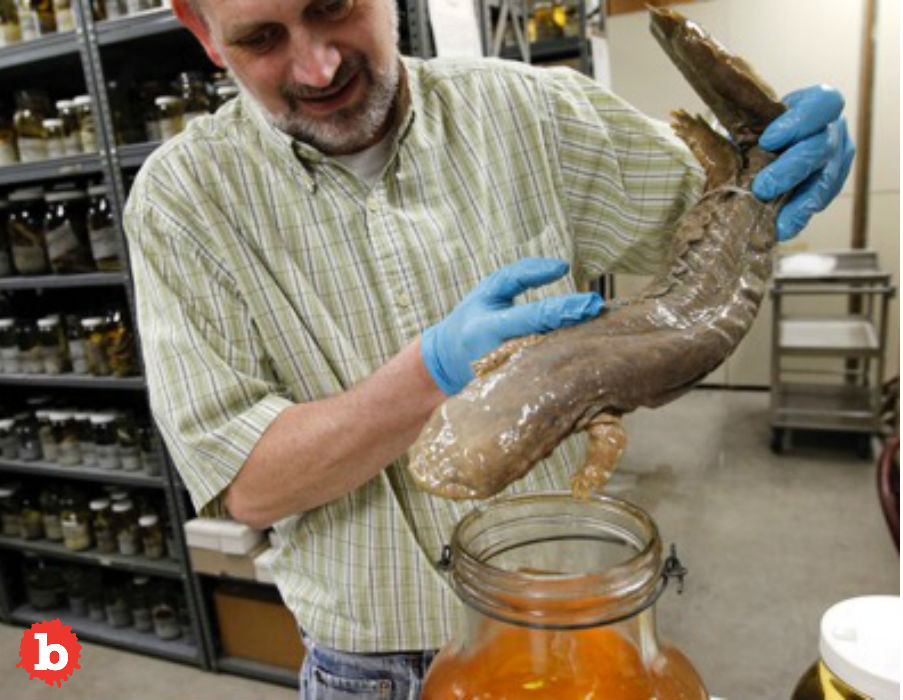 Pennsylvania Names Eastern Hellbender as Official State Amphibian