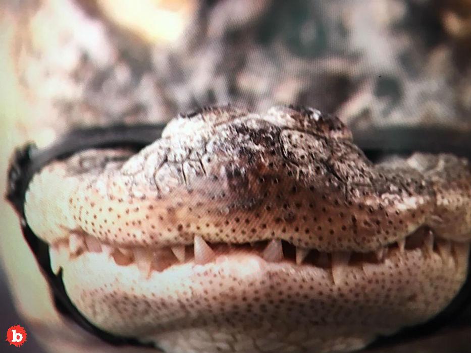 Chicago's Humboldt Alligator, Chance, Finally Captured
