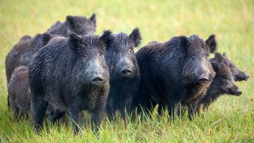 Trump Admin to Authorize Cyanide Bombs to Kill Wild Hogs