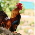 Australian Woman Killed by Pecking Rooster