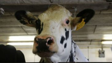 2 Holstein Bulls Sired Almost All American Dairy Cows, And That's Really Bad News