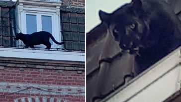 Northern France Town Has Black Panther Prowling the Rooftops