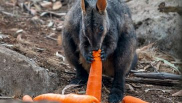 New South Wales Air Drops Carrots and Sweet Potatoes to Starving Animals