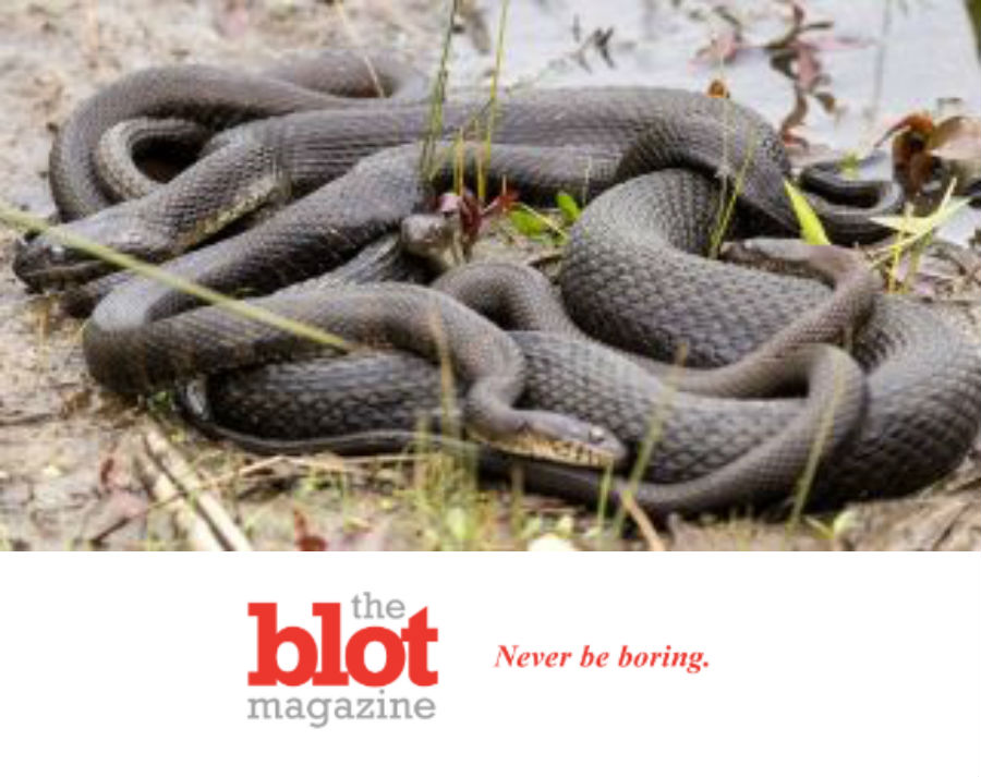 Florida Officials Close Public Park for Yearly Snake Orgy