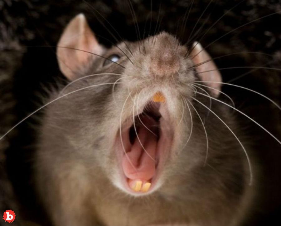 Rat Bites New York Man's Penis in Jail, Now It's Ratfukked