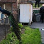 Clever Boston Cop Plays Mating Call to Lure Escaped Peacock