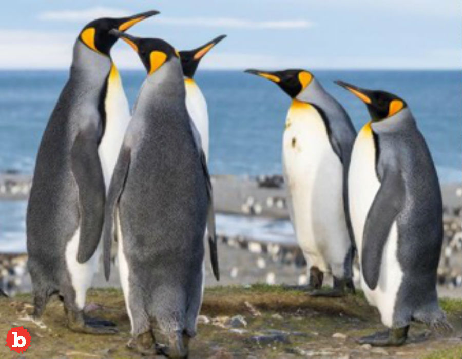 Crazy! Penguin Poo is Chock Full of Laughing Gas