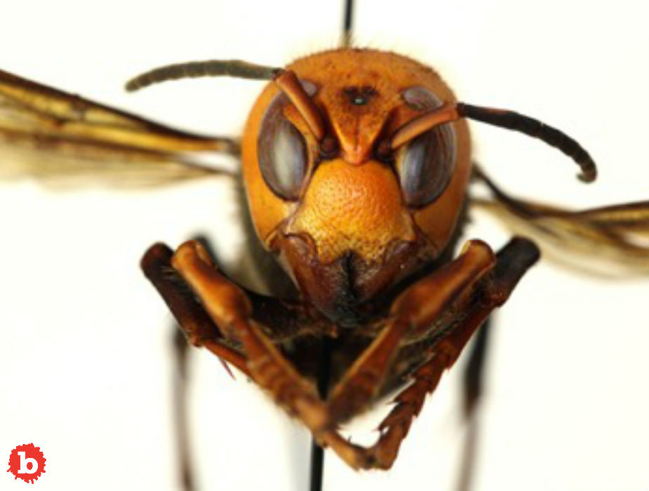 Murder Hornets in the US, Killing Bees, Maybe People