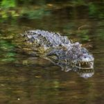 Woman Tries to Pet South Carolina Alligator, Says Epitaph As It Takes Her