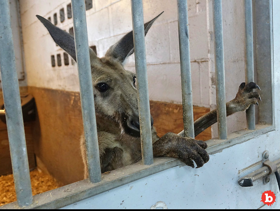 Florida Cops Catch Escaped Kangaroo On the Loose in Fort Lauderdale