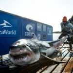 Great White Sharks in New York & New Jersey Waters, More to Come