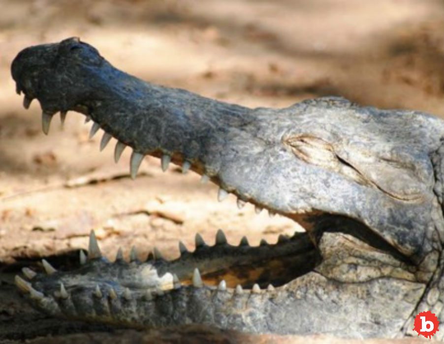 Meet Big Daddy The Murderous Croc Reformed by Marriage