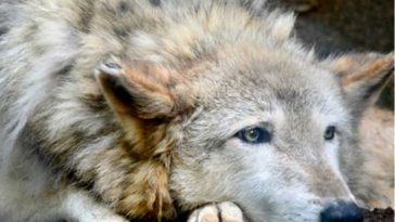 ELECTION! Colorado Voters Choose to Bring Back Grey Wolves
