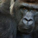 San Diego Zoo Safari Park Gorillas Catch Covid, Have Positive Tests