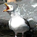 Edinburgh Woman Bites Off Man's Tongue in Brawl, Seagull Steals It