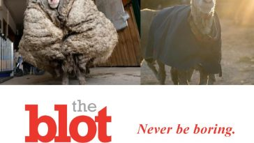 Wild Sheep Rescue, As Sheep Shears Off 78 Pounds of Wool