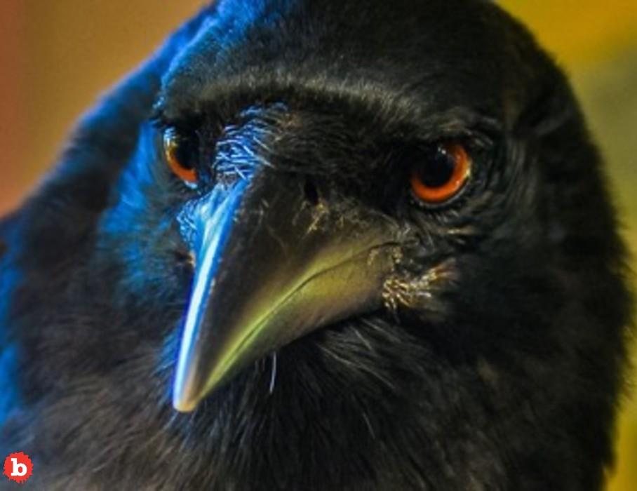 Hooligan Ravens Steal Food in Alaska Costco Parking Lot