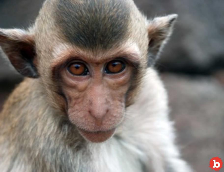 Cincinnati Cops, Animal Control Trying to Corral Loose Monkeys