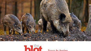 Wild Boar Near Rome Harass Woman, Steal Her Groceries
