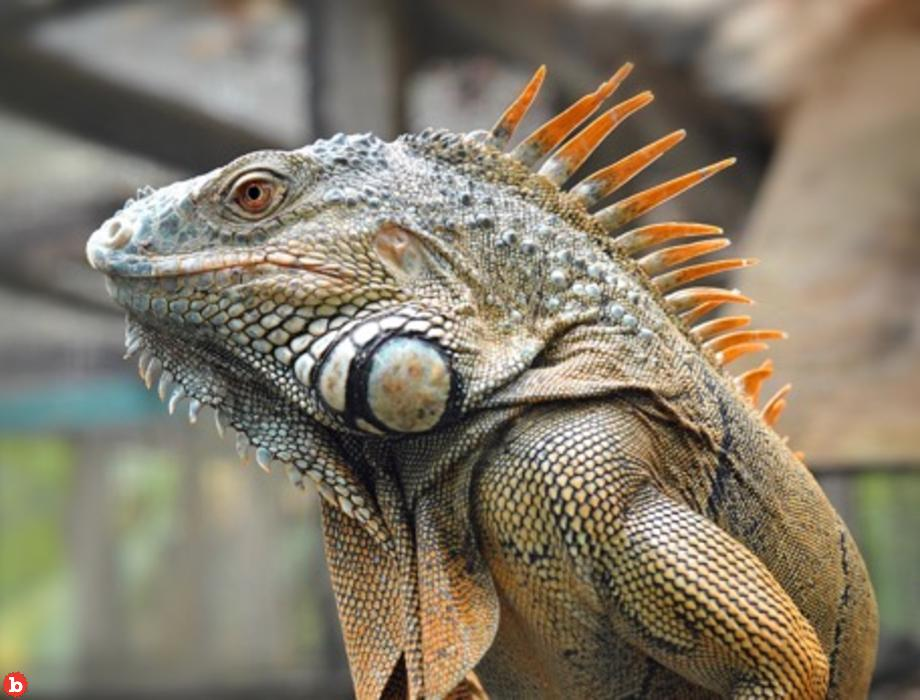 Former DuPont President Trained Attack Iguanas to Kill on Command