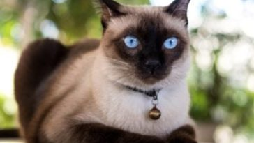 Amazing Discovery! Siamese Cats Coloration Map Out Their Heat Signatures