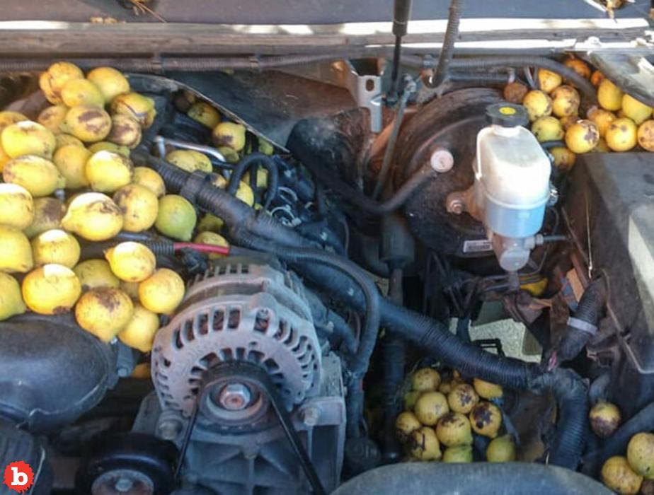 Squirrel Hides 42 Gallons of Walnuts in Man's Pickup Truck